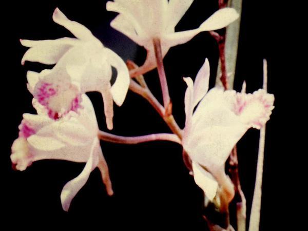 Nun's-Hood Orchid (Phaius) https://www.sagebud.com/nuns-hood-orchid-phaius/
