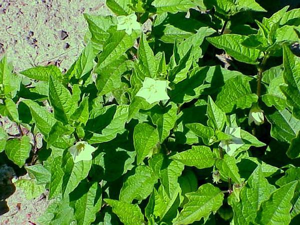 Strawberry Groundcherry (Physalis Alkekengi) https://www.sagebud.com/strawberry-groundcherry-physalis-alkekengi