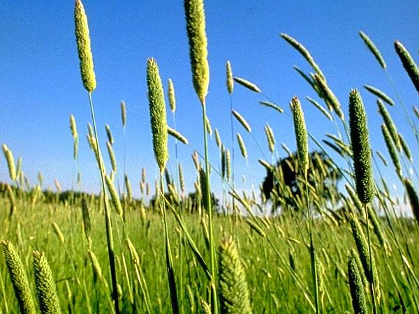 Canarygrass (Phalaris) https://www.sagebud.com/canarygrass-phalaris