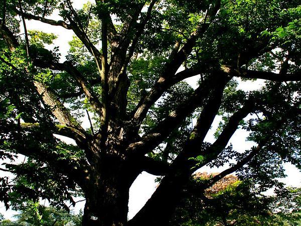 Amur Corktree (Phellodendron Amurense) https://www.sagebud.com/amur-corktree-phellodendron-amurense