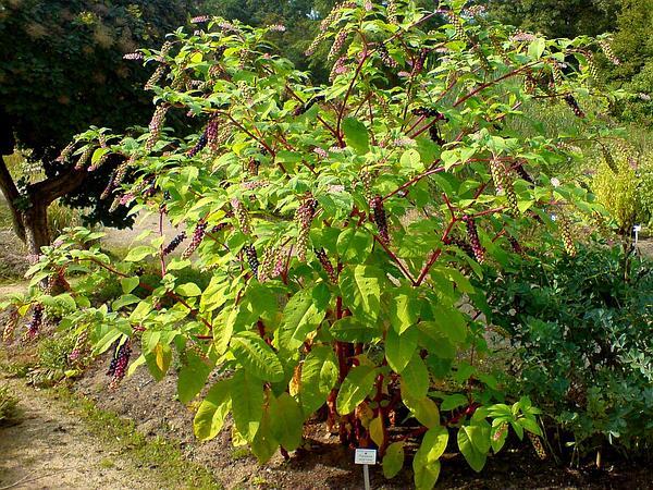 American Pokeweed (Phytolacca Americana) https://www.sagebud.com/american-pokeweed-phytolacca-americana