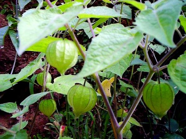 Cutleaf Groundcherry (Physalis Angulata) https://www.sagebud.com/cutleaf-groundcherry-physalis-angulata