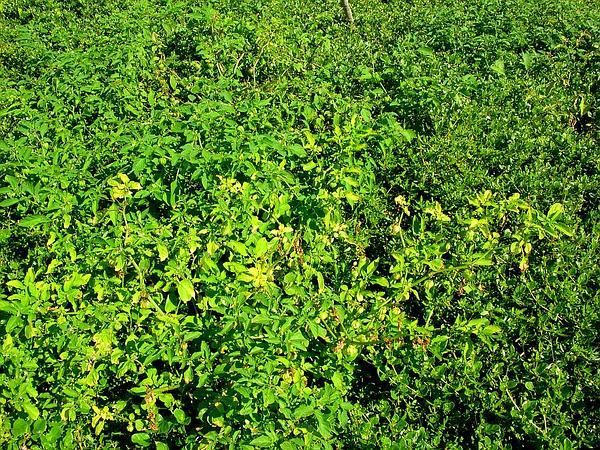 Cutleaf Groundcherry (Physalis Angulata) https://www.sagebud.com/cutleaf-groundcherry-physalis-angulata
