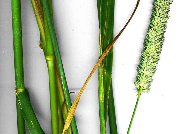 Bulbous Canarygrass (Phalaris Aquatica) https://www.sagebud.com/bulbous-canarygrass-phalaris-aquatica