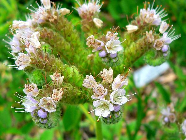 Sanddune Phacelia (Phacelia Argentea) https://www.sagebud.com/sanddune-phacelia-phacelia-argentea