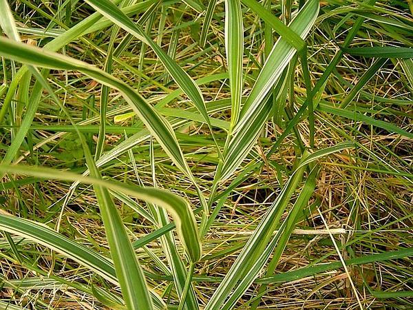 Reed Canarygrass (Phalaris Arundinacea) https://www.sagebud.com/reed-canarygrass-phalaris-arundinacea