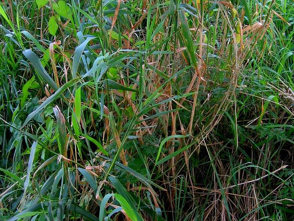 Reed canarygrass identification and control