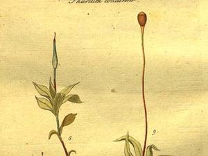 Phascum Moss