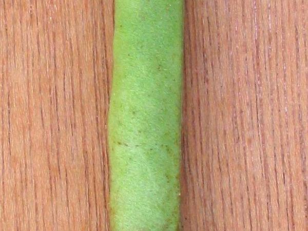 Bean (Phaseolus) https://www.sagebud.com/bean-phaseolus