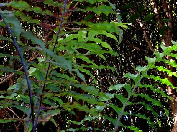 Golden Polypody (Phlebodium Aureum) https://www.sagebud.com/golden-polypody-phlebodium-aureum/