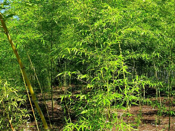Golden Bamboo (Phyllostachys Aurea) https://www.sagebud.com/golden-bamboo-phyllostachys-aurea