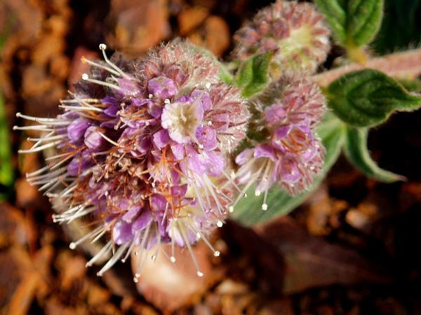 California Phacelia (Phacelia Californica) https://www.sagebud.com/california-phacelia-phacelia-californica