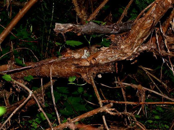 Pacific Ninebark (Physocarpus Capitatus) https://www.sagebud.com/pacific-ninebark-physocarpus-capitatus