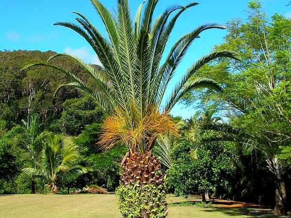 Canary Island Date Palm (Phoenix Canariensis) https://www.sagebud.com/canary-island-date-palm-phoenix-canariensis/