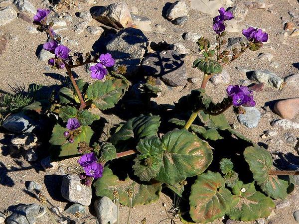 Calthaleaf Phacelia (Phacelia Calthifolia) https://www.sagebud.com/calthaleaf-phacelia-phacelia-calthifolia