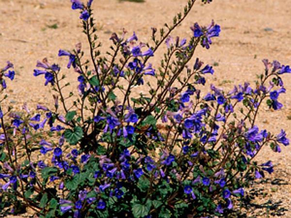 Desertbells (Phacelia Campanularia) https://www.sagebud.com/desertbells-phacelia-campanularia