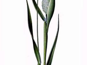 Annual Canarygrass