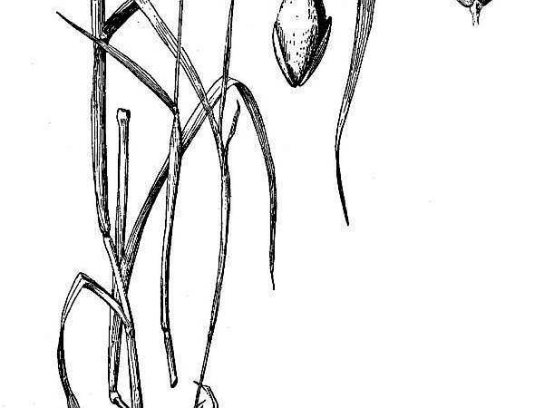 Annual Canarygrass (Phalaris Canariensis) https://www.sagebud.com/annual-canarygrass-phalaris-canariensis