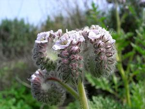 Caterpillar Phacelia