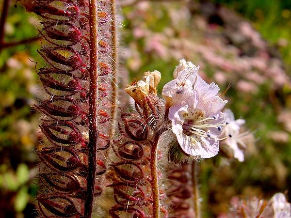 Caterpillar Phacelia (Phacelia Cicutaria) https://www.sagebud.com/caterpillar-phacelia-phacelia-cicutaria