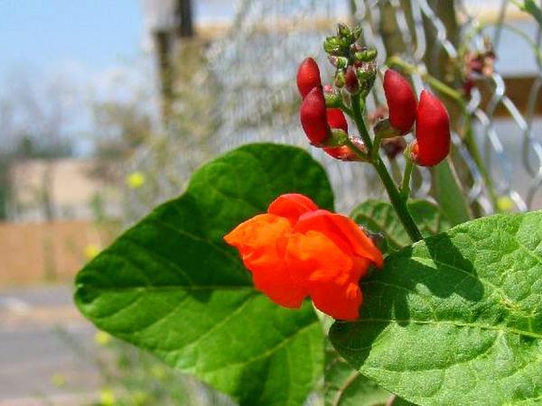 Scarlet Runner (Phaseolus Coccineus) https://www.sagebud.com/scarlet-runner-phaseolus-coccineus