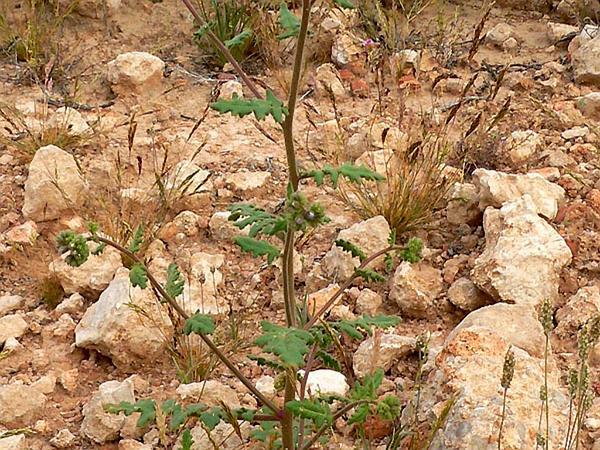 Cleftleaf Wildheliotrope (Phacelia Crenulata) https://www.sagebud.com/cleftleaf-wildheliotrope-phacelia-crenulata