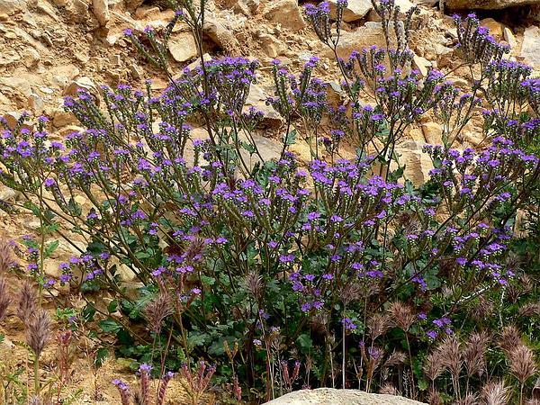 Cleftleaf Wildheliotrope (Phacelia Crenulata) https://www.sagebud.com/cleftleaf-wildheliotrope-phacelia-crenulata/