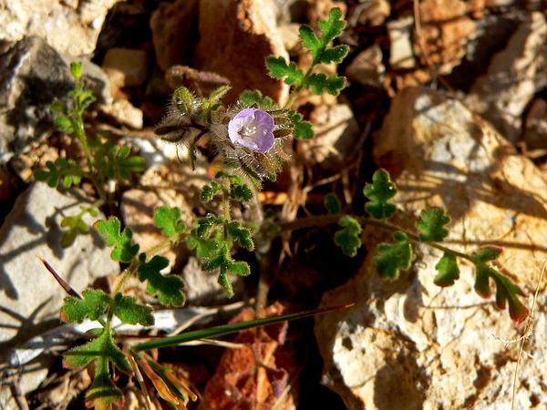 Hiddenflower Phacelia (Phacelia Cryptantha) https://www.sagebud.com/hiddenflower-phacelia-phacelia-cryptantha