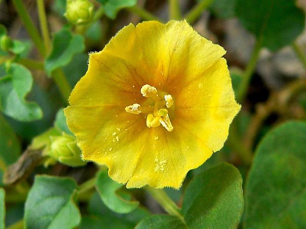 Yellow Nightshade Groundcherry (Physalis Crassifolia) https://www.sagebud.com/yellow-nightshade-groundcherry-physalis-crassifolia/