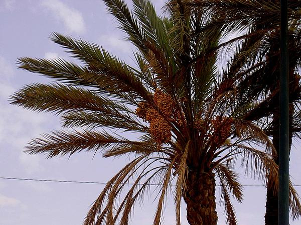 Date Palm (Phoenix Dactylifera) https://www.sagebud.com/date-palm-phoenix-dactylifera