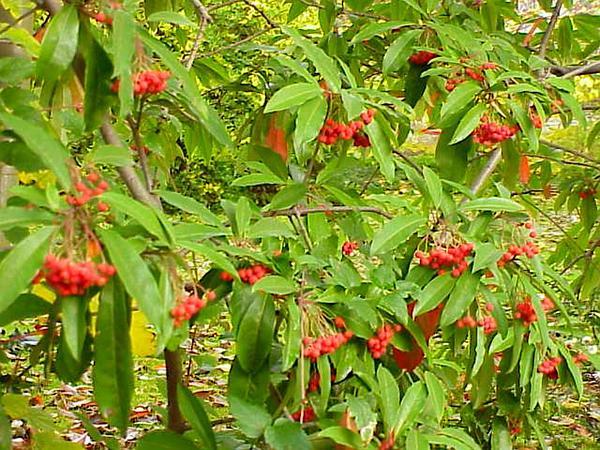 Chinese Photinia (Photinia Davidiana) https://www.sagebud.com/chinese-photinia-photinia-davidiana