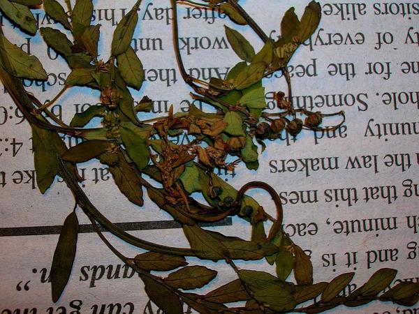 Niruri (Phyllanthus Debilis) https://www.sagebud.com/niruri-phyllanthus-debilis