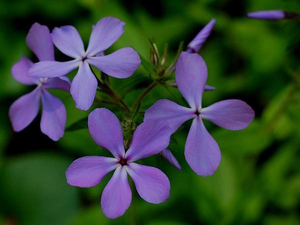 Wild Blue Phlox (Phlox Divaricata) https://www.sagebud.com/wild-blue-phlox-phlox-divaricata