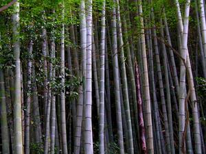 Tortoise Shell Bamboo
