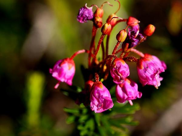 Pink Mountainheath (Phyllodoce Empetriformis) https://www.sagebud.com/pink-mountainheath-phyllodoce-empetriformis