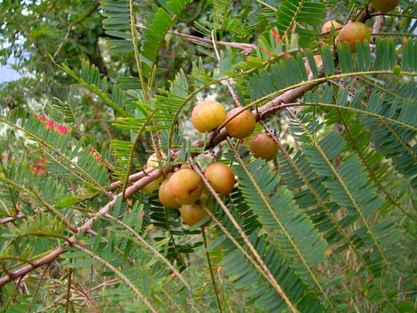 Emblic (Phyllanthus Emblica) https://www.sagebud.com/emblic-phyllanthus-emblica