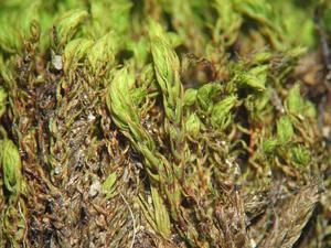 Philonotis Moss