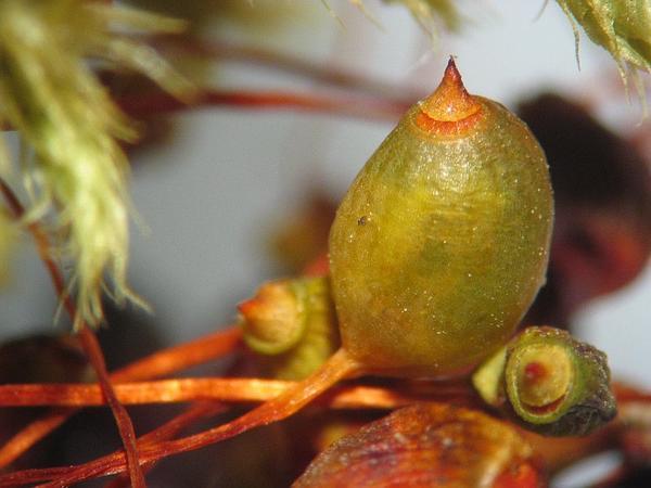 Philonotis Moss (Philonotis Fontana) https://www.sagebud.com/philonotis-moss-philonotis-fontana