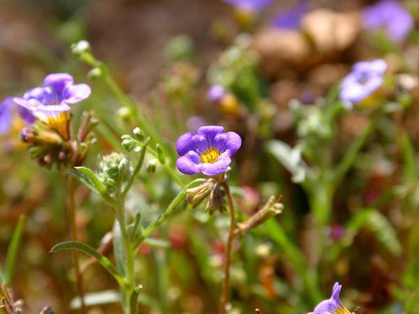 Fremont's Phacelia (Phacelia Fremontii) https://www.sagebud.com/fremonts-phacelia-phacelia-fremontii