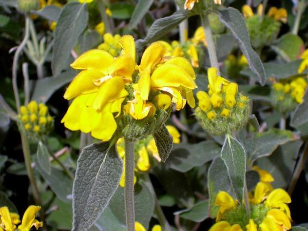Shrubby Jerusalem Sage (Phlomis Fruticosa) https://www.sagebud.com/shrubby-jerusalem-sage-phlomis-fruticosa