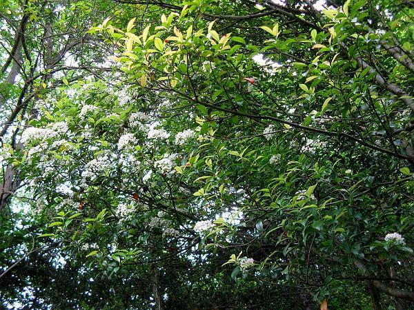 Japanese Photinia (Photinia Glabra) https://www.sagebud.com/japanese-photinia-photinia-glabra