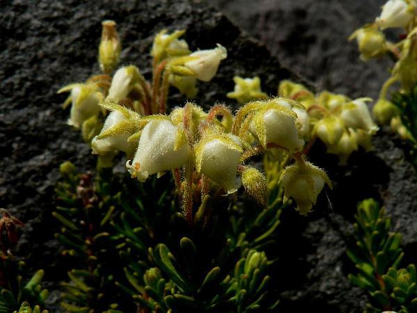 Yellow Mountainheath (Phyllodoce Glanduliflora) https://www.sagebud.com/yellow-mountainheath-phyllodoce-glanduliflora/