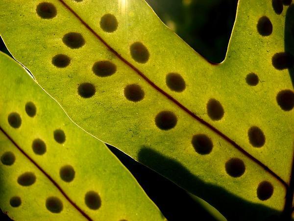 Musk Fern (Phymatosorus Grossus) https://www.sagebud.com/musk-fern-phymatosorus-grossus