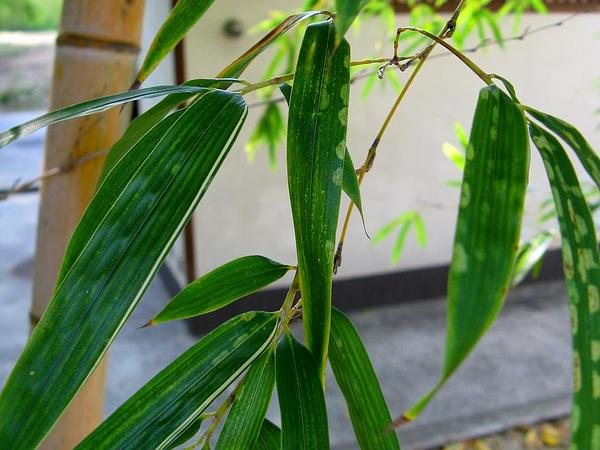 Tortoiseshell Bamboo (Phyllostachys Heterocycla) https://www.sagebud.com/tortoiseshell-bamboo-phyllostachys-heterocycla