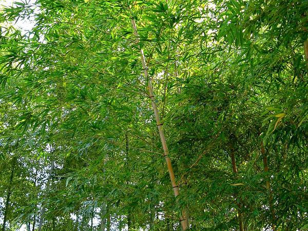 Tortoiseshell Bamboo (Phyllostachys Heterocycla) https://www.sagebud.com/tortoiseshell-bamboo-phyllostachys-heterocycla/