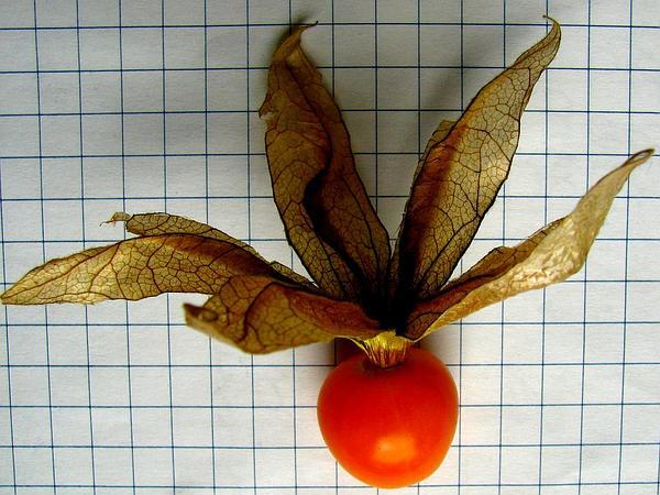 Clammy Groundcherry (Physalis Heterophylla) https://www.sagebud.com/clammy-groundcherry-physalis-heterophylla/