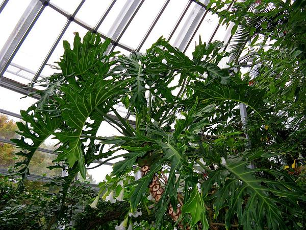 Philodendron (Philodendron) https://www.sagebud.com/philodendron-philodendron