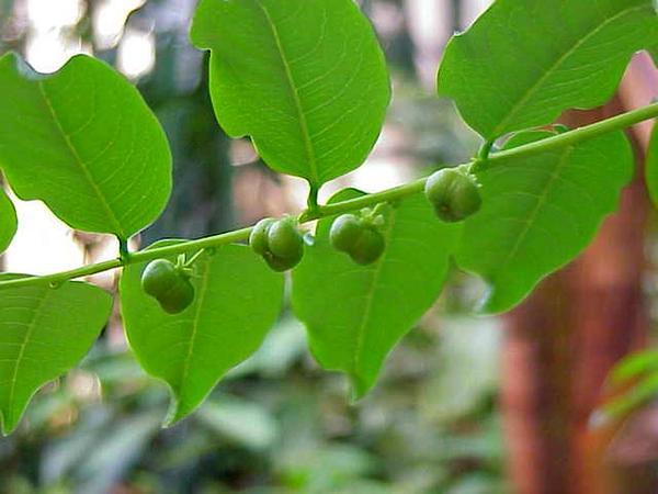 Gamo De Costa (Phyllanthus Juglandifolius) https://www.sagebud.com/gamo-de-costa-phyllanthus-juglandifolius