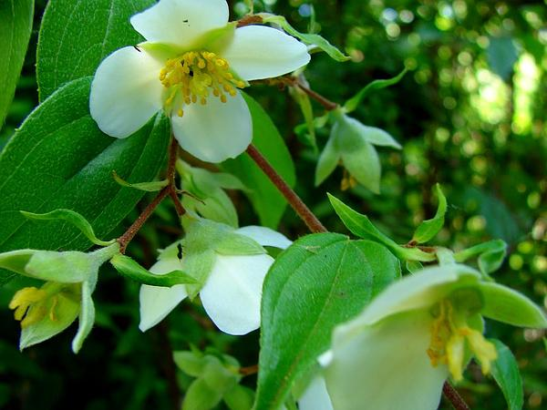 Evergreen Mock Orange (Philadelphus Karwinskianus) https://www.sagebud.com/evergreen-mock-orange-philadelphus-karwinskianus/