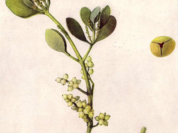 Oak Mistletoe (Phoradendron Leucarpum) https://www.sagebud.com/oak-mistletoe-phoradendron-leucarpum